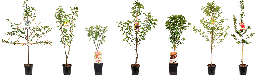 Fruit Trees SYAM BV